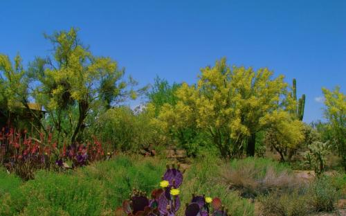 beavertail cactus and palo verde trees in bloom