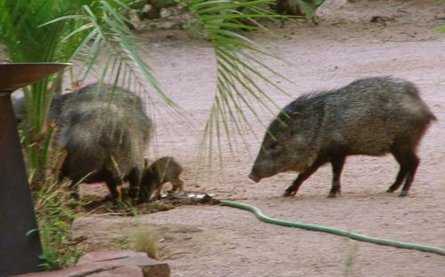 There's a baby javelina!